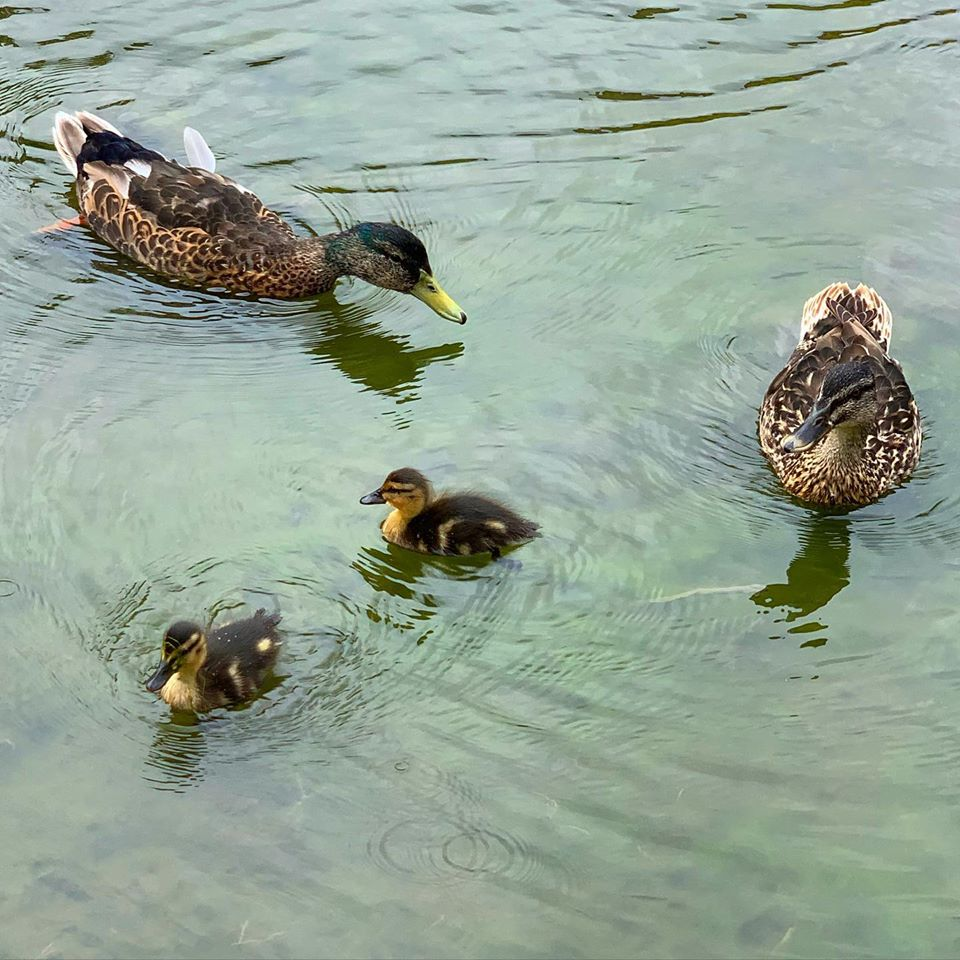 Ducks on Willersey pond 2020