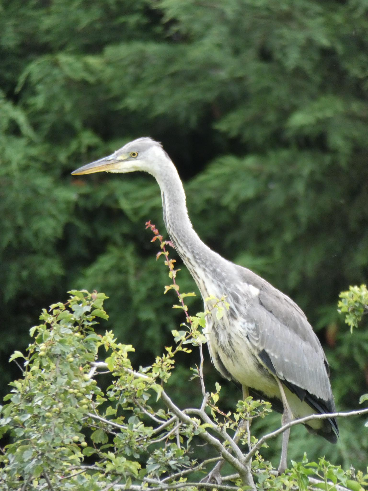Heron on Willersey Pond 2019