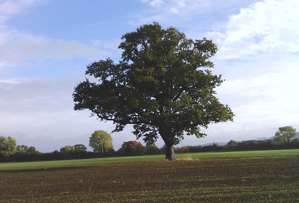 Oak tree in Willersey field